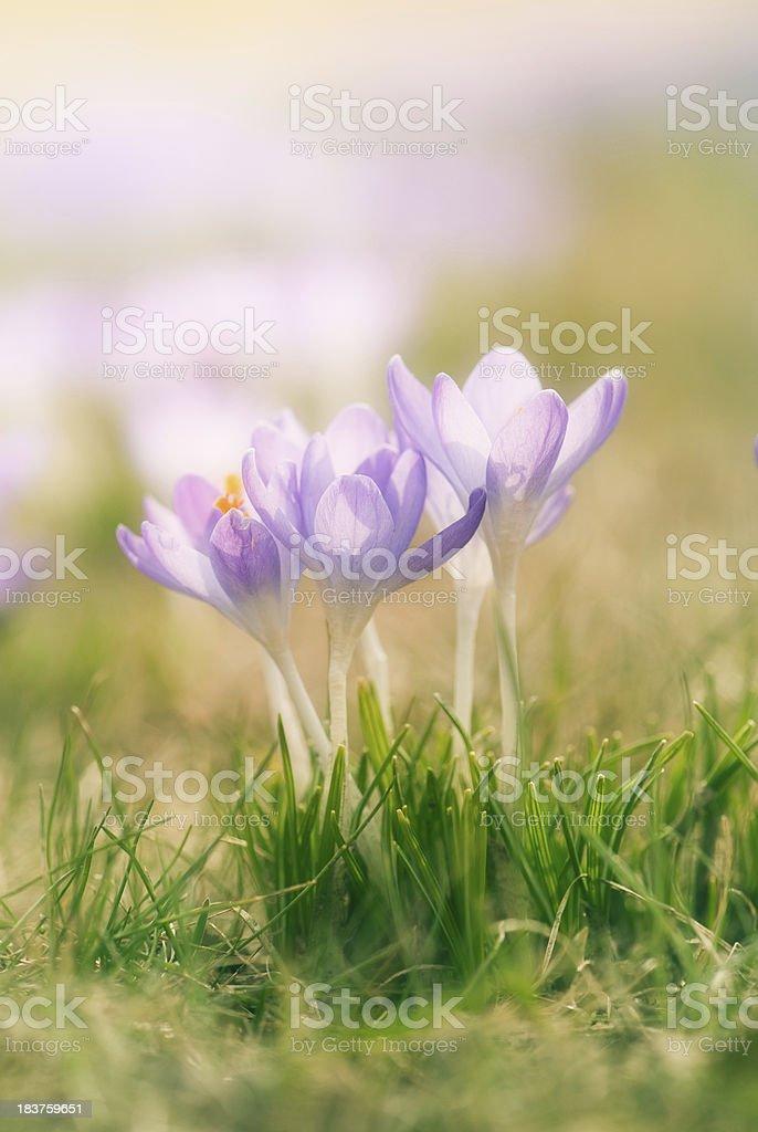 spring flower crocus stock photo