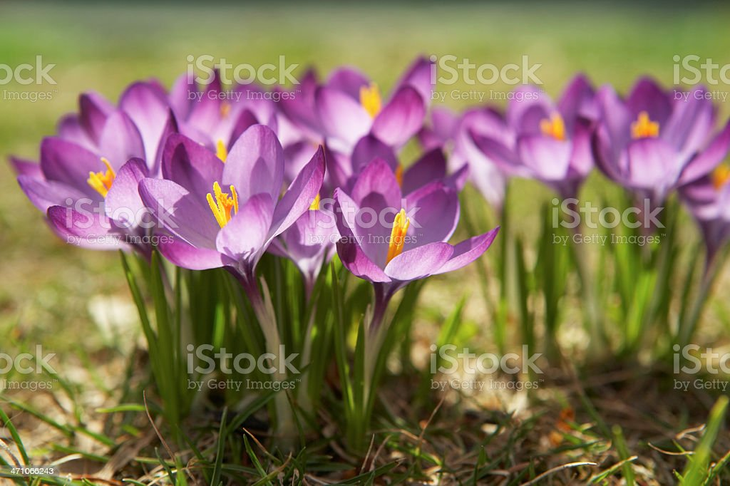 spring flower crocus royalty-free stock photo