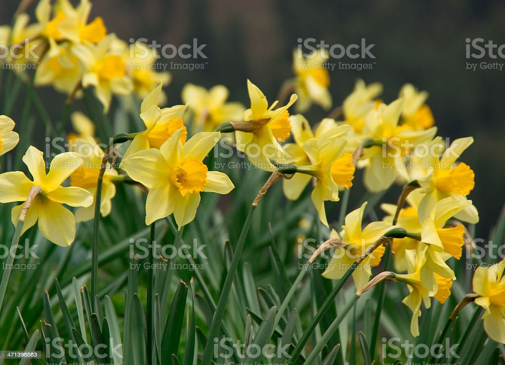 Spring flower - Daffodils stock photo