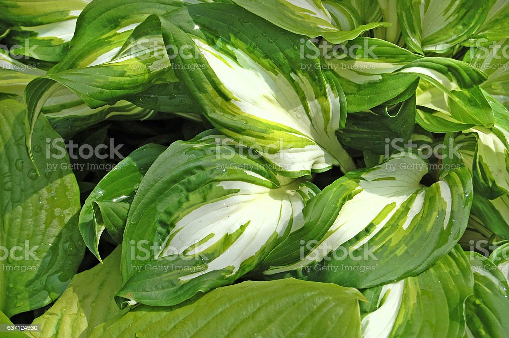 Spring flower, green, greenery. Herb and leaves. Plantain lily. stock photo