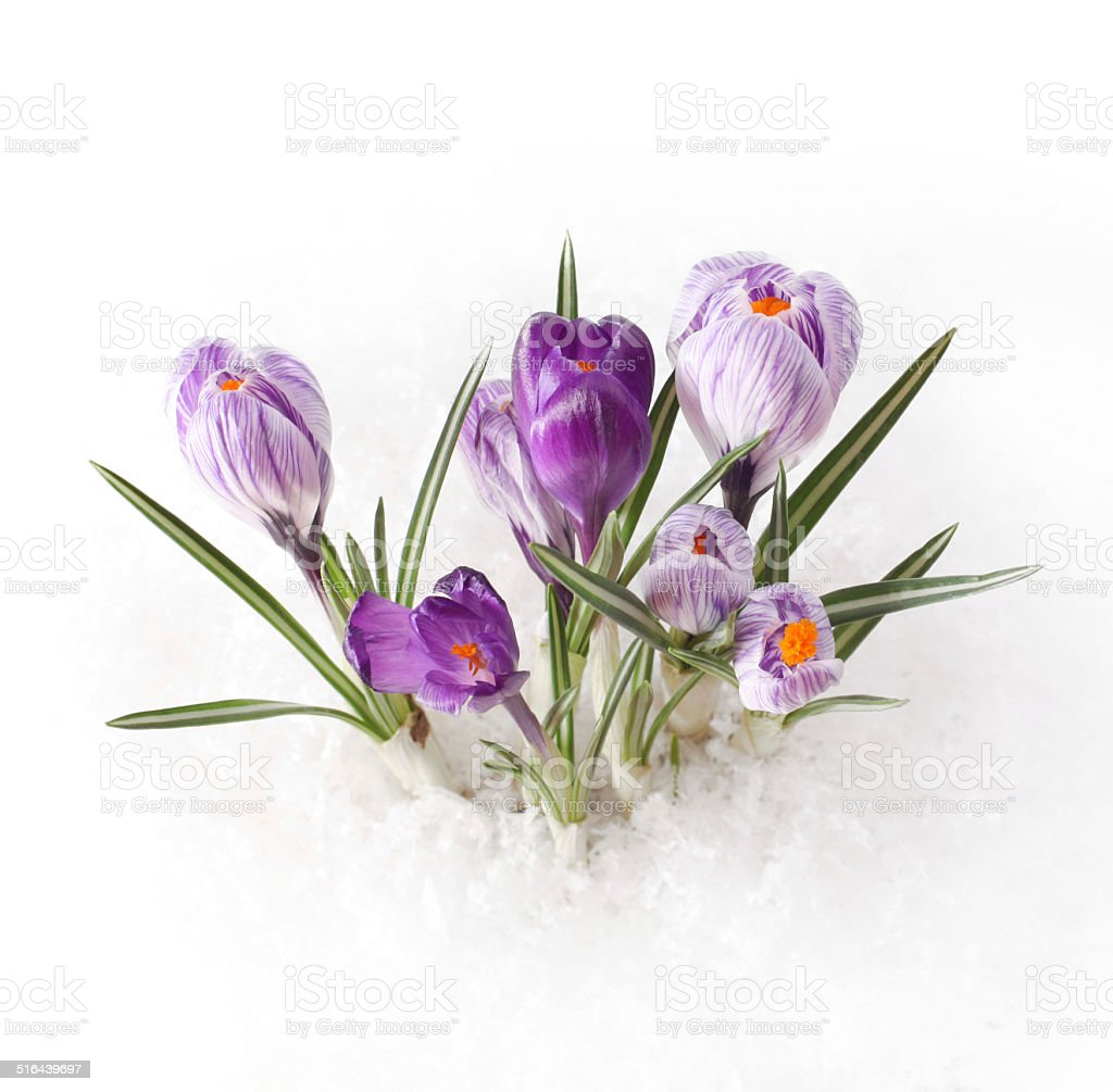 Spring flower in snow stock photo