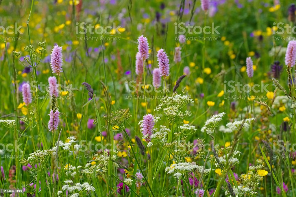 spring flower meadows in mountains stock photo