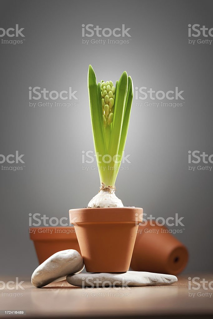 Spring flower on a gray background royalty-free stock photo