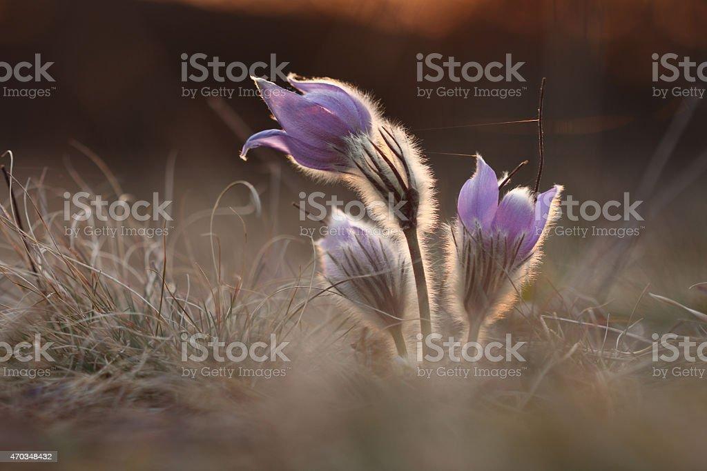 Spring flower Pasqueflower- Pulsatilla grandis at sunet time stock photo