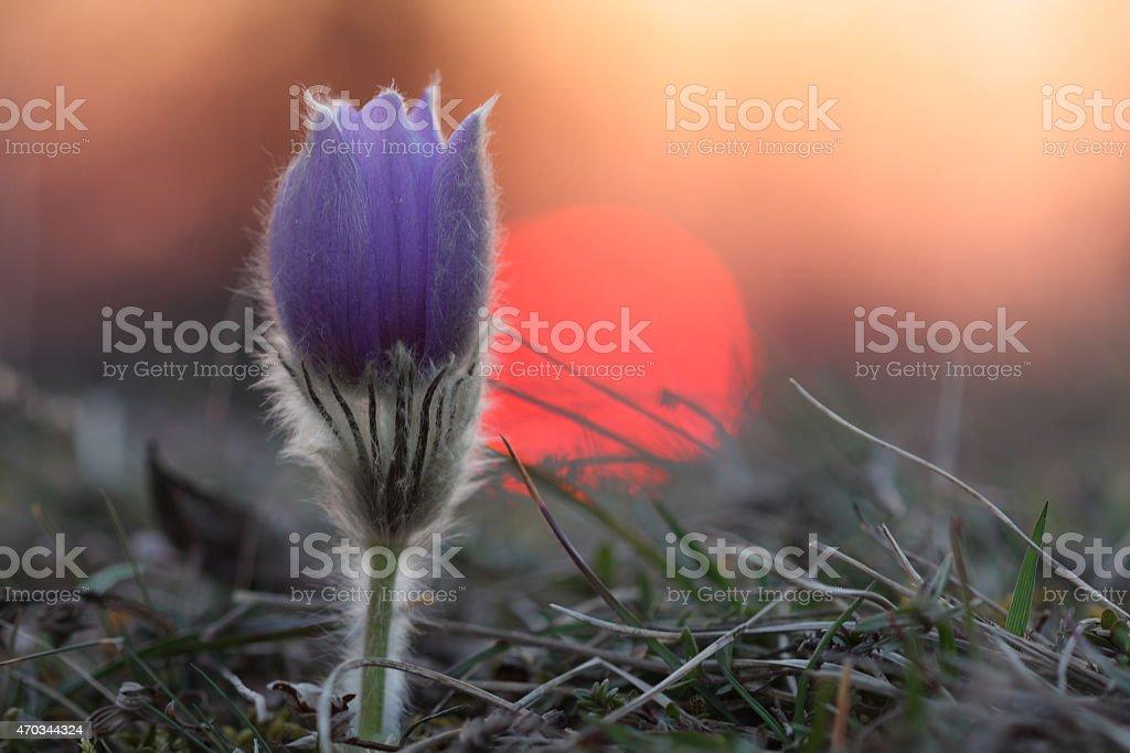 Spring flower Pasqueflower- Pulsatilla grandis at sunset stock photo