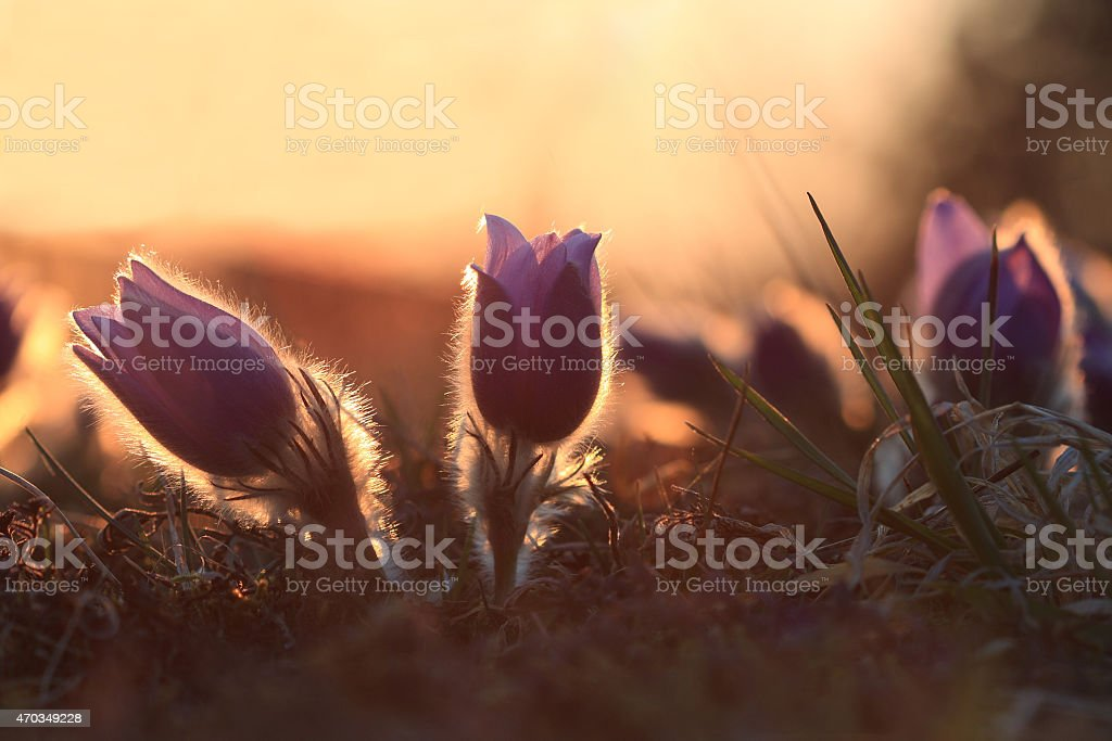 Spring flower Pasqueflower- Pulsatilla grandis at sunset time stock photo
