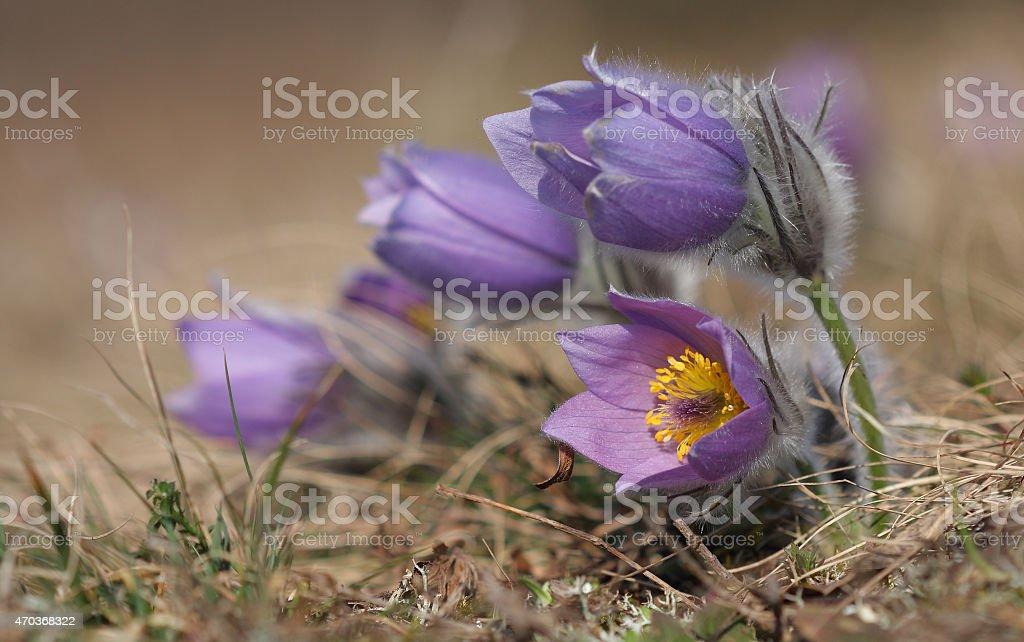 Spring flower Pasqueflower- Pulsatilla grandis on meadow stock photo