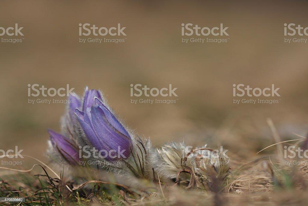 Spring flower Pasqueflower- Pulsatilla grandis stock photo