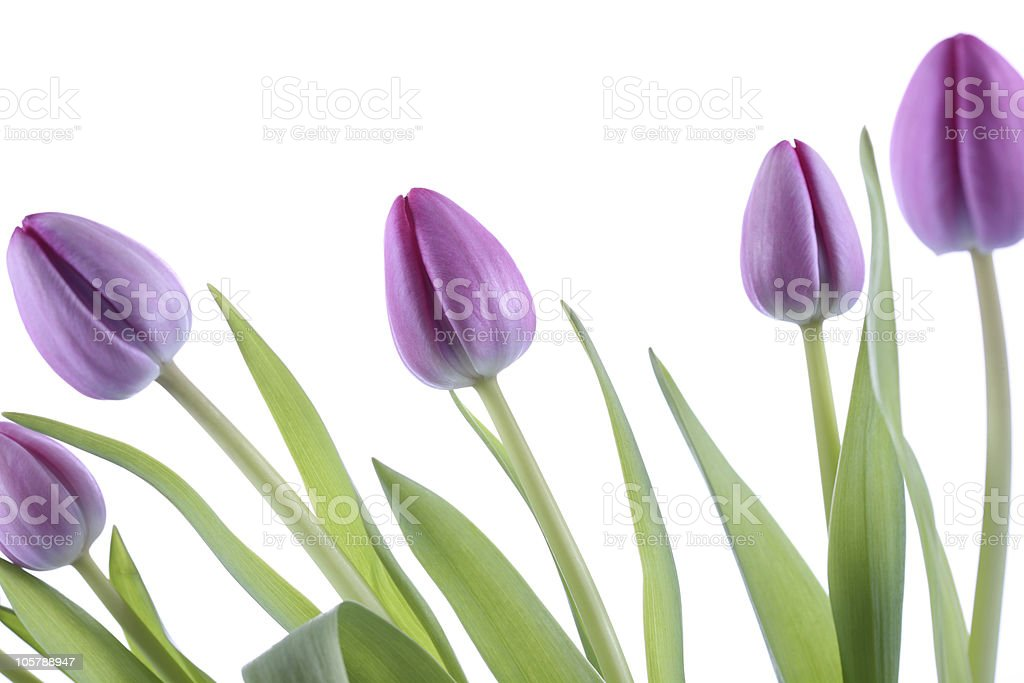 Spring Flower Time Pink Tulips stock photo