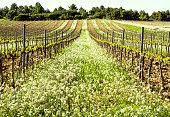spring flowered flower vines vineyard aragon spain terra alta