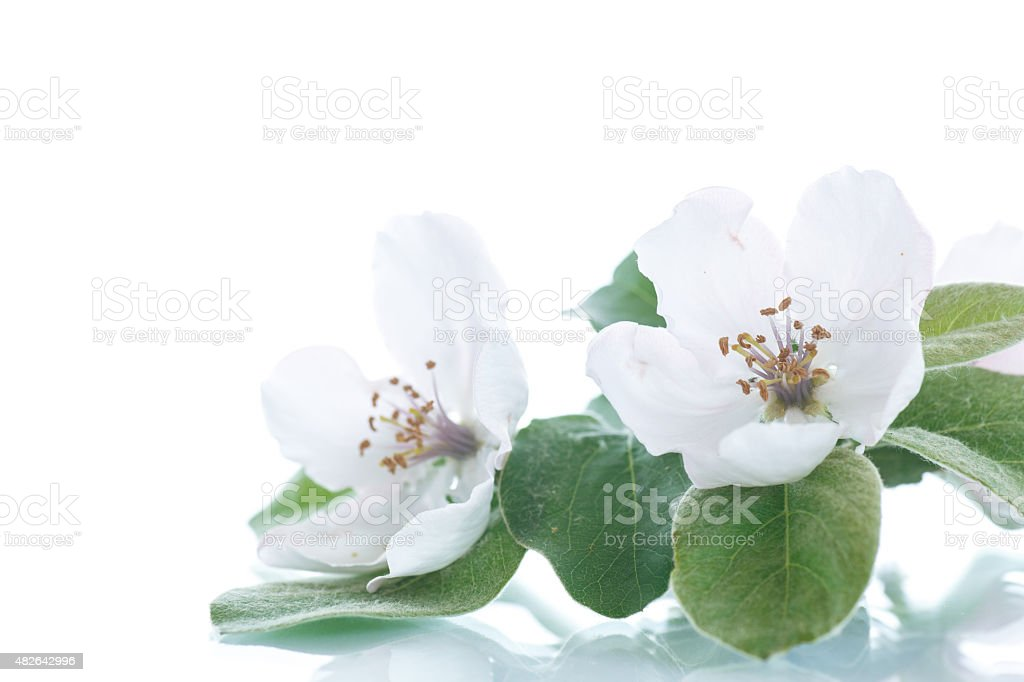 Spring flowering quince tree stock photo