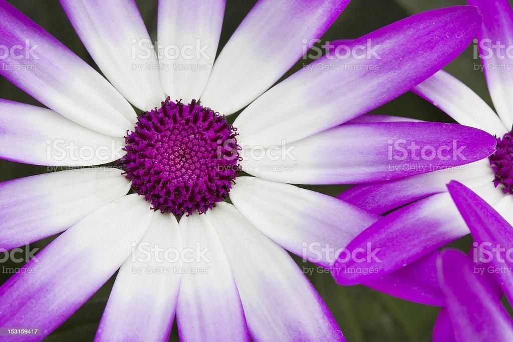 Spring flowering Senetti flowers macro shot stock photo