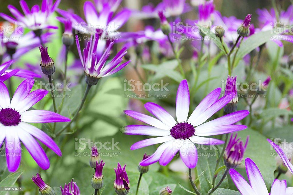 Spring flowering Senetti flowers stock photo