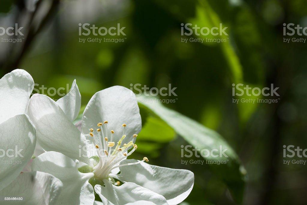 Spring flowering wild cherry in springtime stock photo