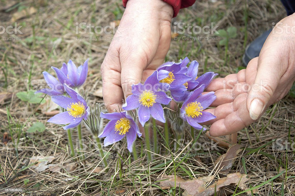 Spring flowers and hand of woman stock photo