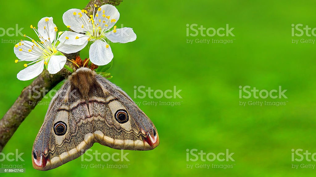 spring flowers and resting moth with copyspace for wishes stock photo