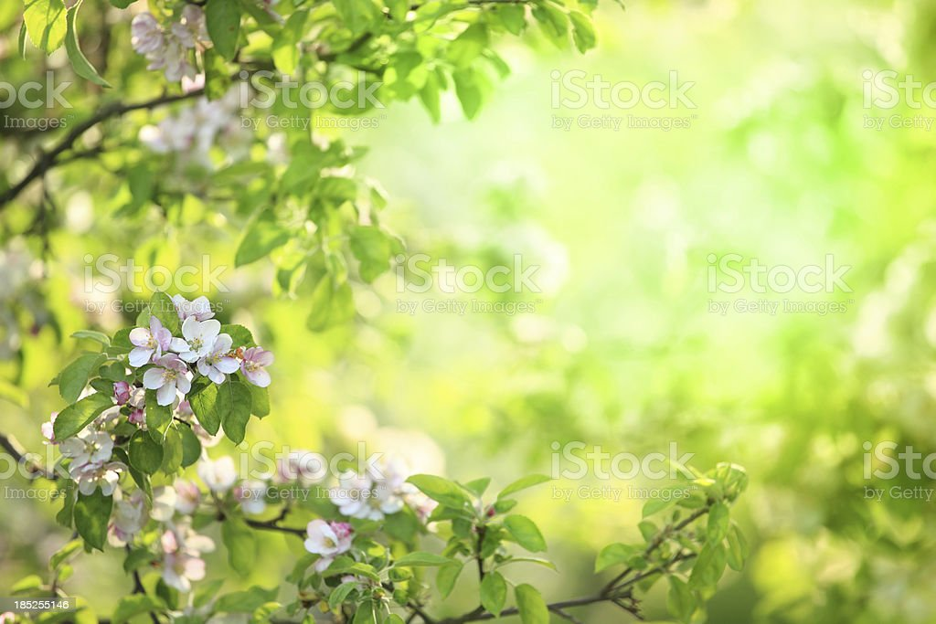 Spring Flowers Blooming Orchard - Nature Background royalty-free stock photo