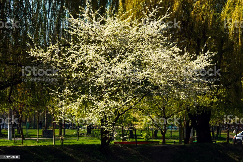 Spring flowers blooming tree in park nature background stock photo