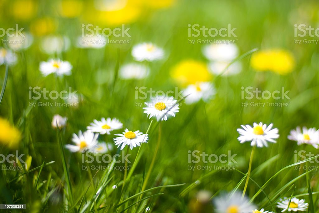 Spring flowers - Chamomile plant royalty-free stock photo
