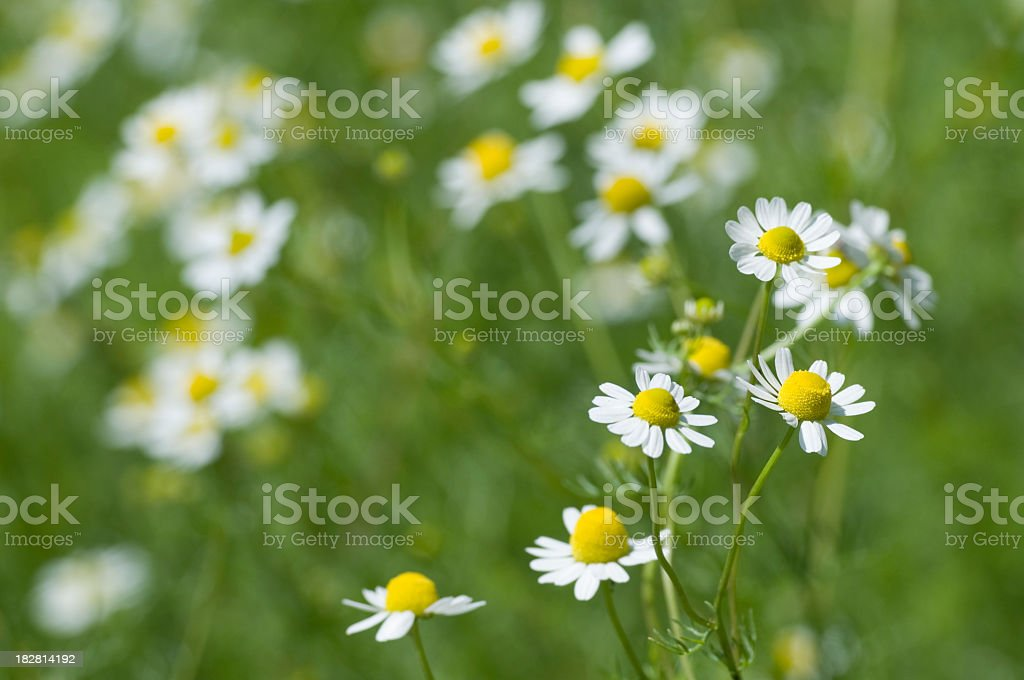 Spring flowers - Chamomile plant stock photo