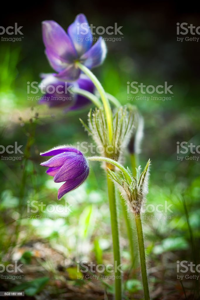 Spring flowers, crocus in forest. Selective focus. stock photo