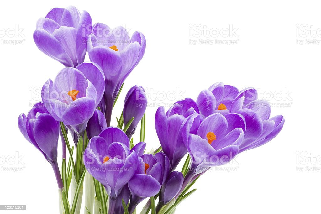 spring flowers, crocus stock photo