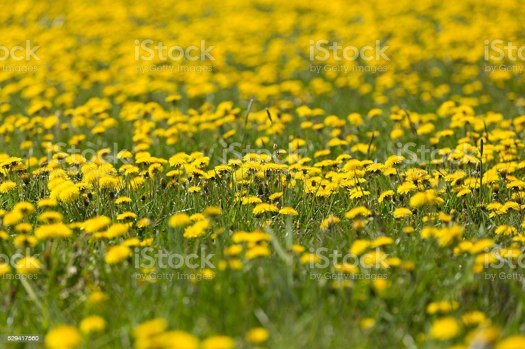 spring flowers dandelions stock photo