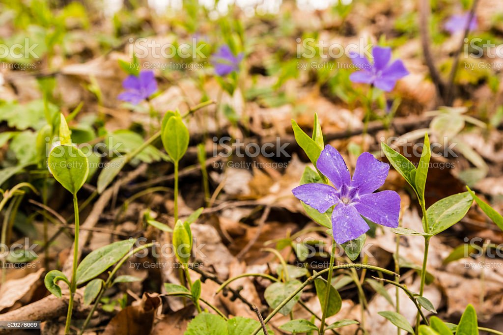 Spring flowers growing in the forest. stock photo