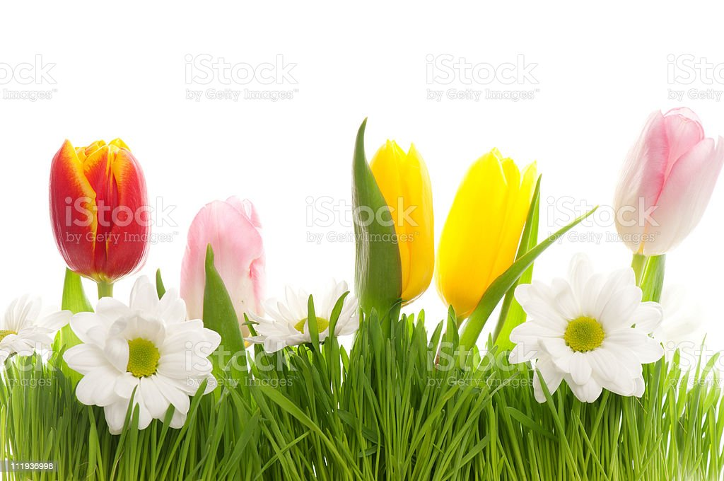 Spring flowers growing out of the grass isolated on white royalty-free stock photo