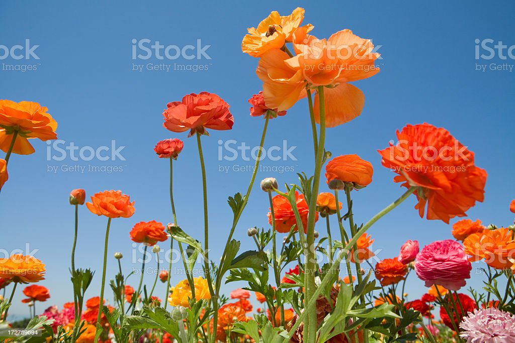 Spring flowers in bloom in a field royalty-free stock photo