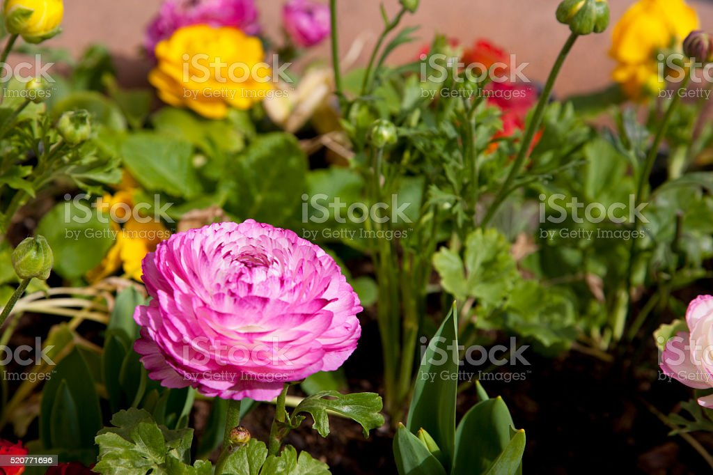 Spring flowers in Dijon, France stock photo