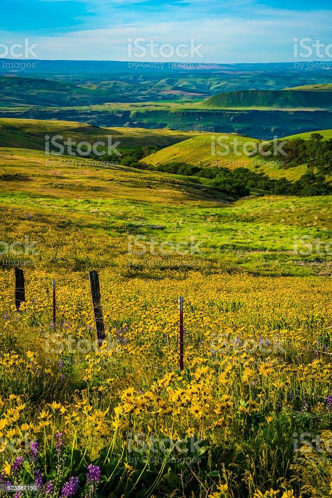 spring flowers in Eastern Washington stock photo