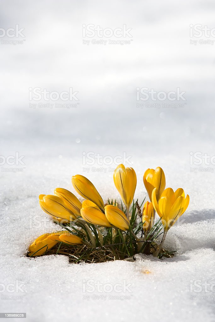 Spring flowers in snow royalty-free stock photo