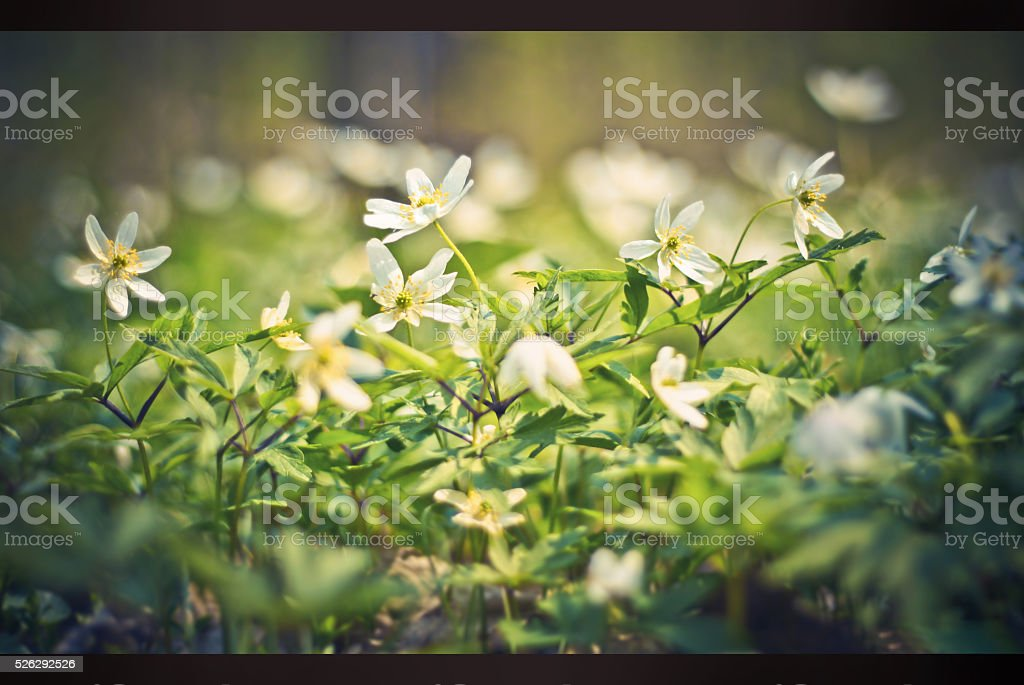 spring flowers in the forest. background anemones stock photo