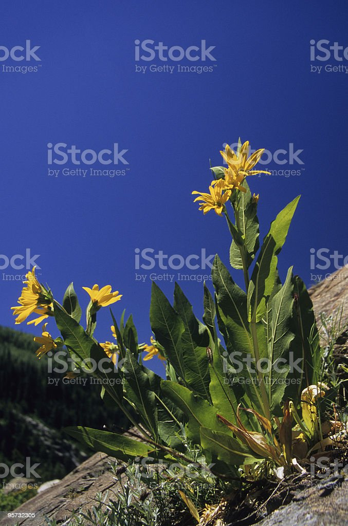 Spring flowers in the Rocky Mountains stock photo