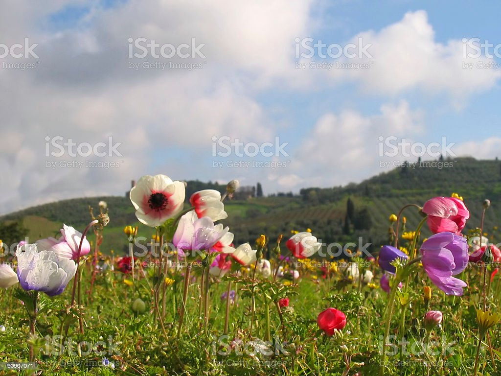 Spring flowers in Tuscany Nobody royalty-free stock photo