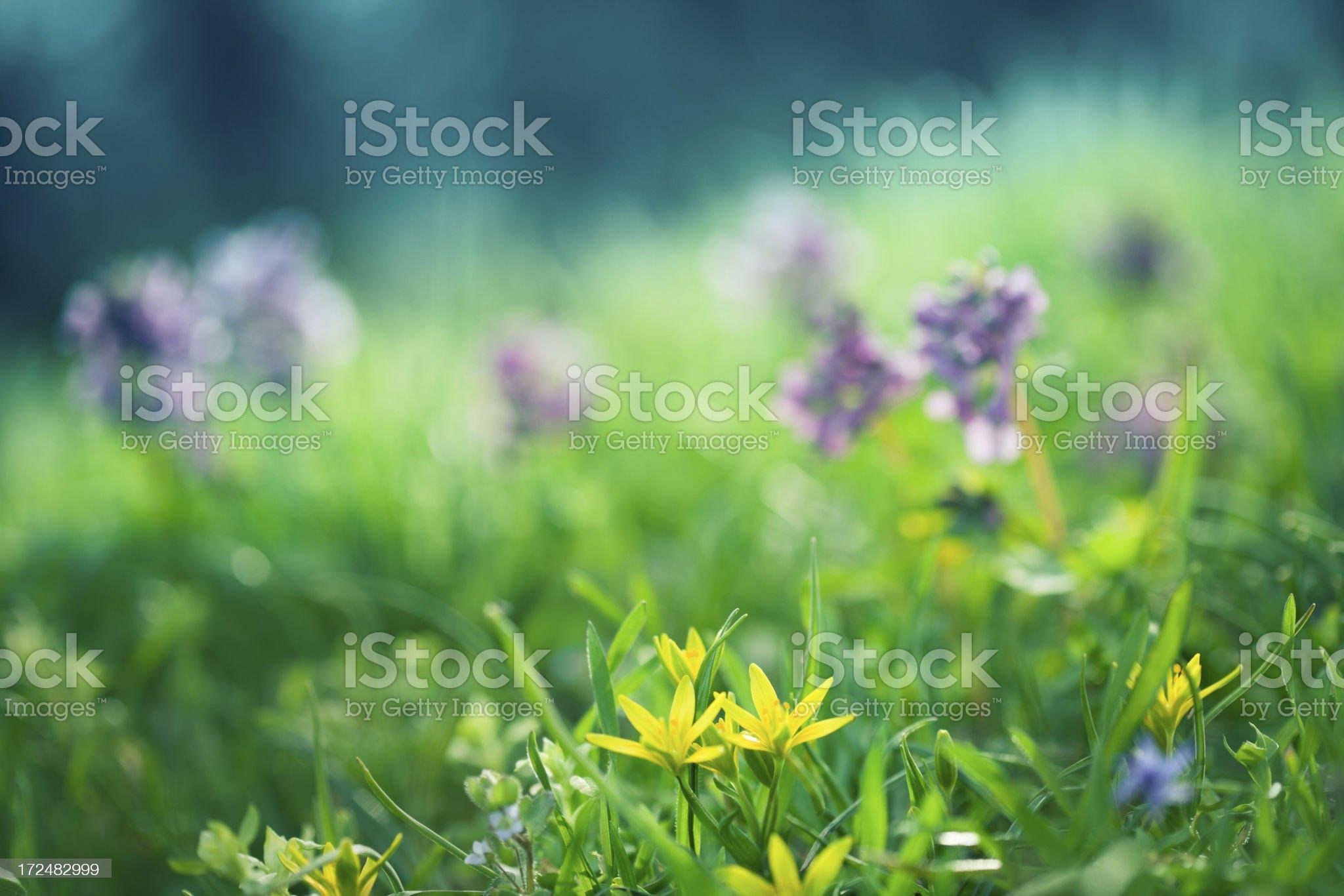Spring flowers macro royalty-free stock photo