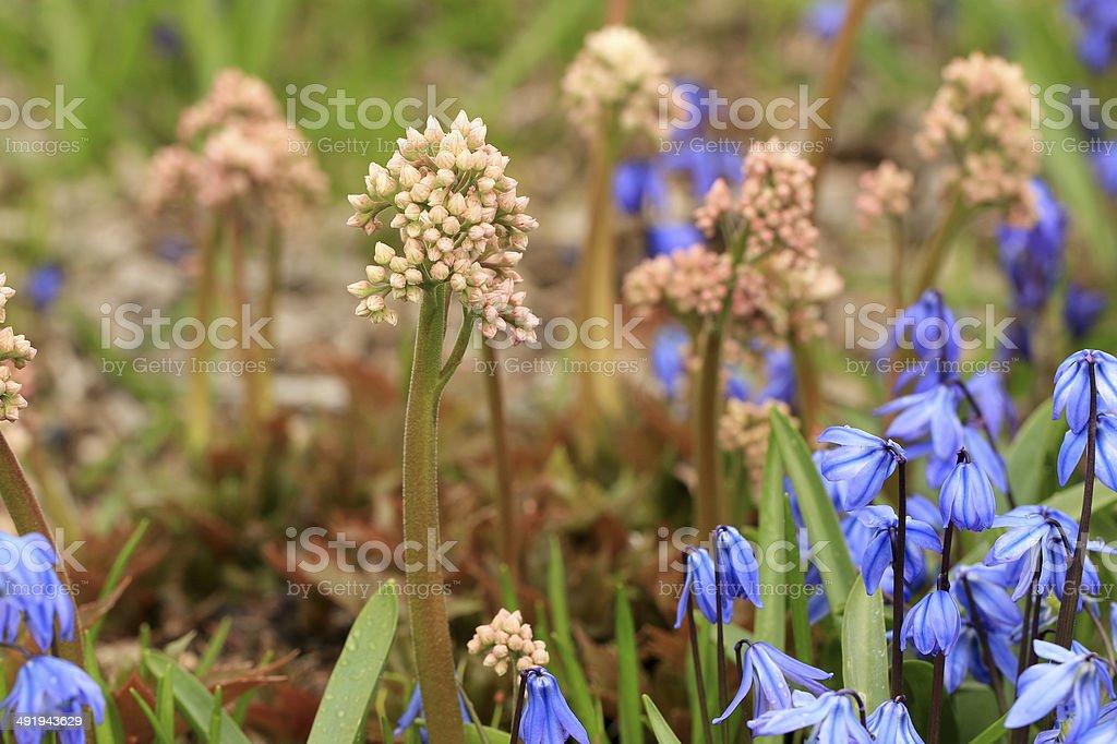 Spring flowers. Mukdenia rossii & Scilla siberica stock photo