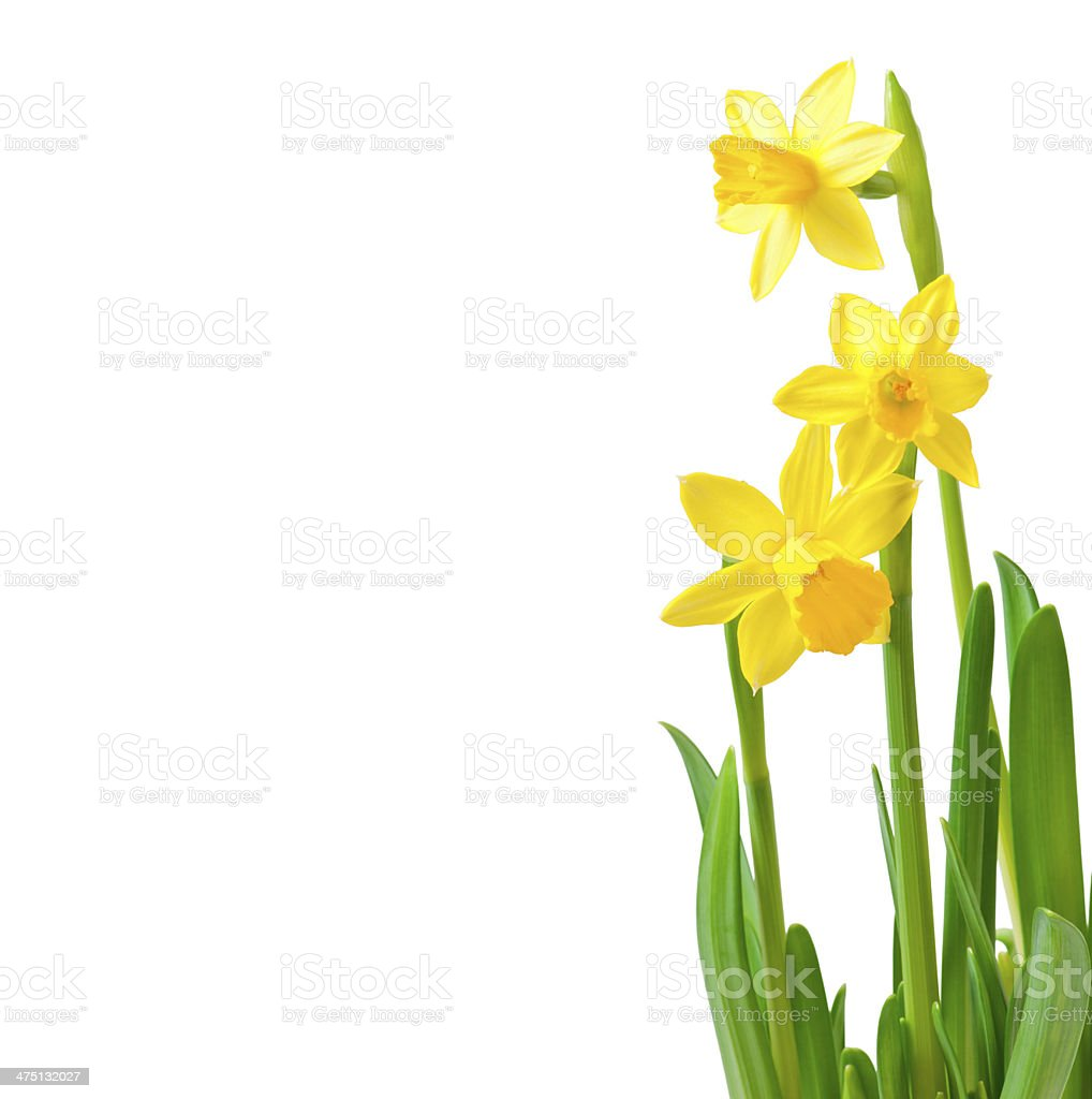 Spring flowers narcissus isolated on white background. stock photo