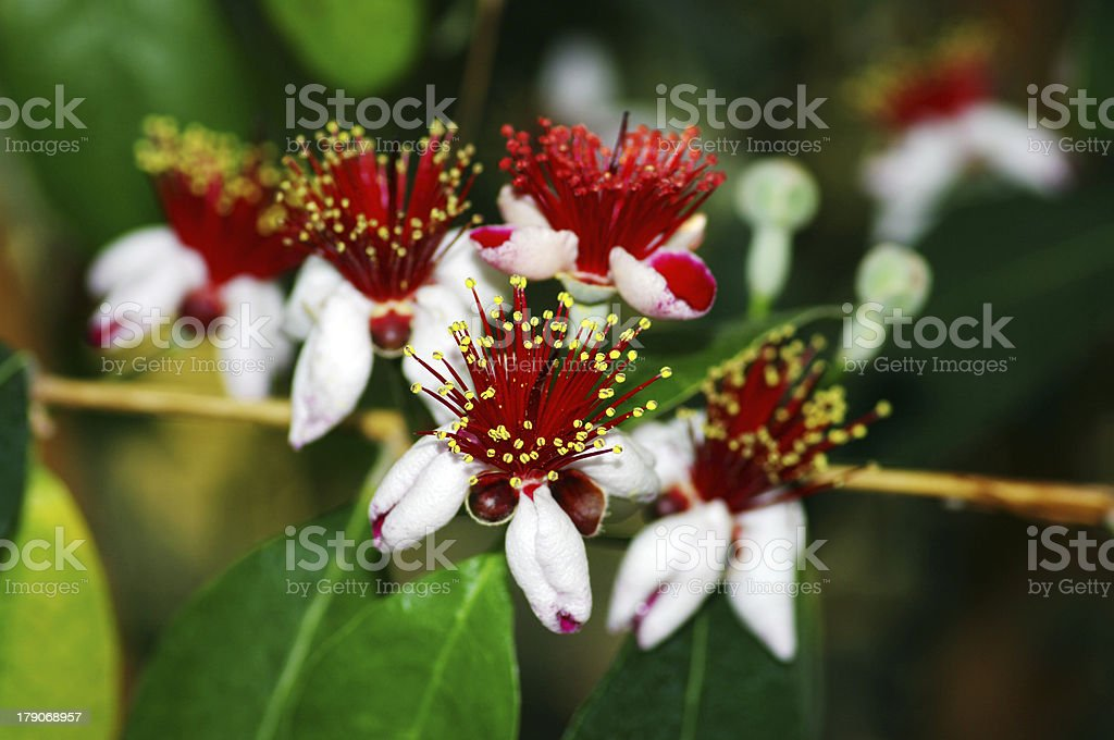spring flowers of feijoa on the tree stock photo