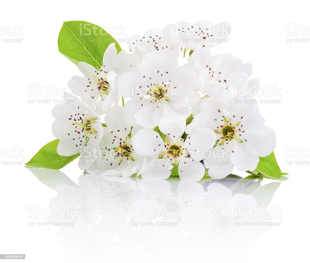 Spring flowers of fruit trees isolated on white background stock photo