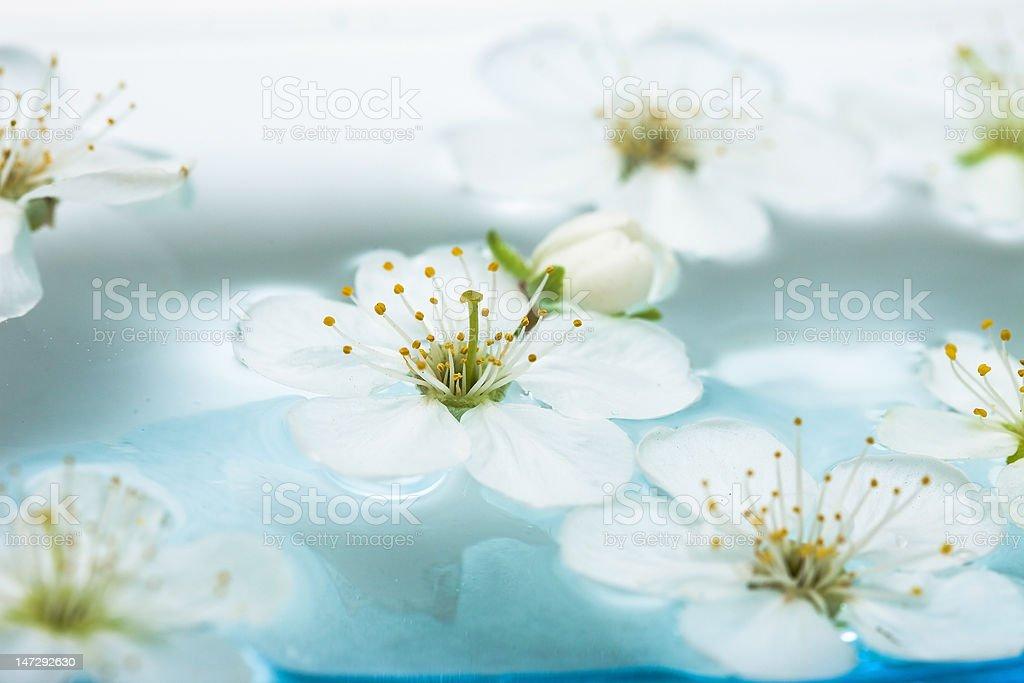 Flores de Primavera de sakura em água foto de stock royalty-free