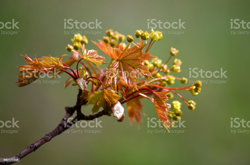 Spring flowers of the maple tree stock photo
