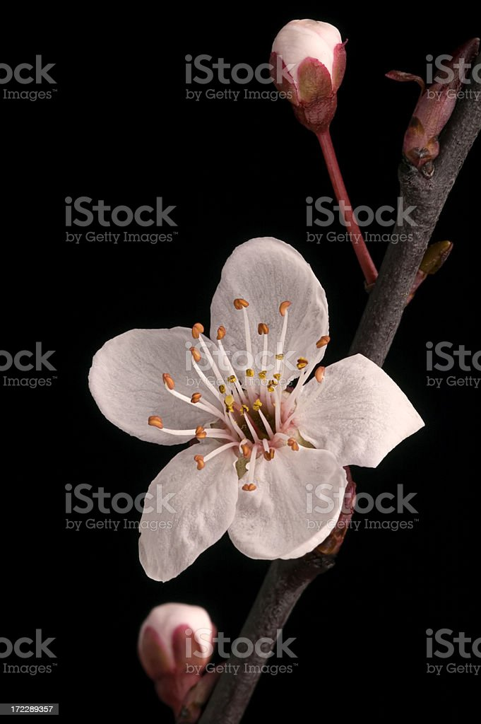 spring flowers on black royalty-free stock photo