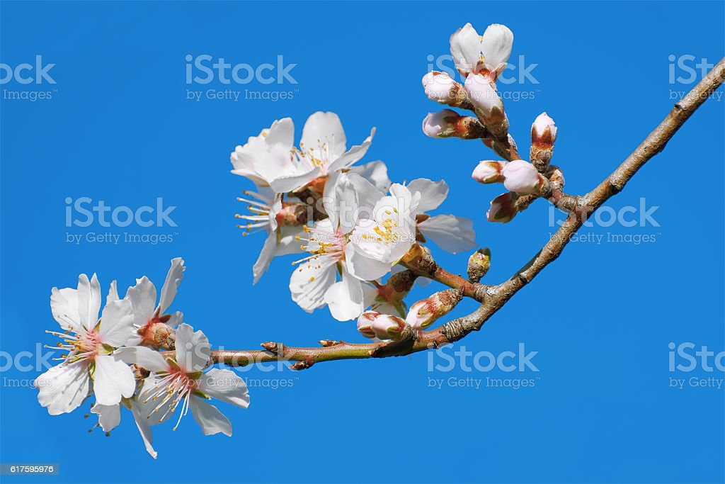 Spring Flowers on Branchlet stock photo