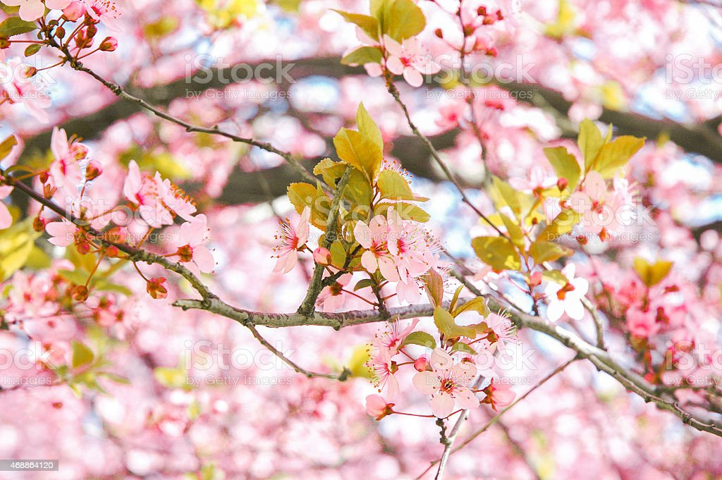 Spring flowers on tree with fresh leaves stock photo