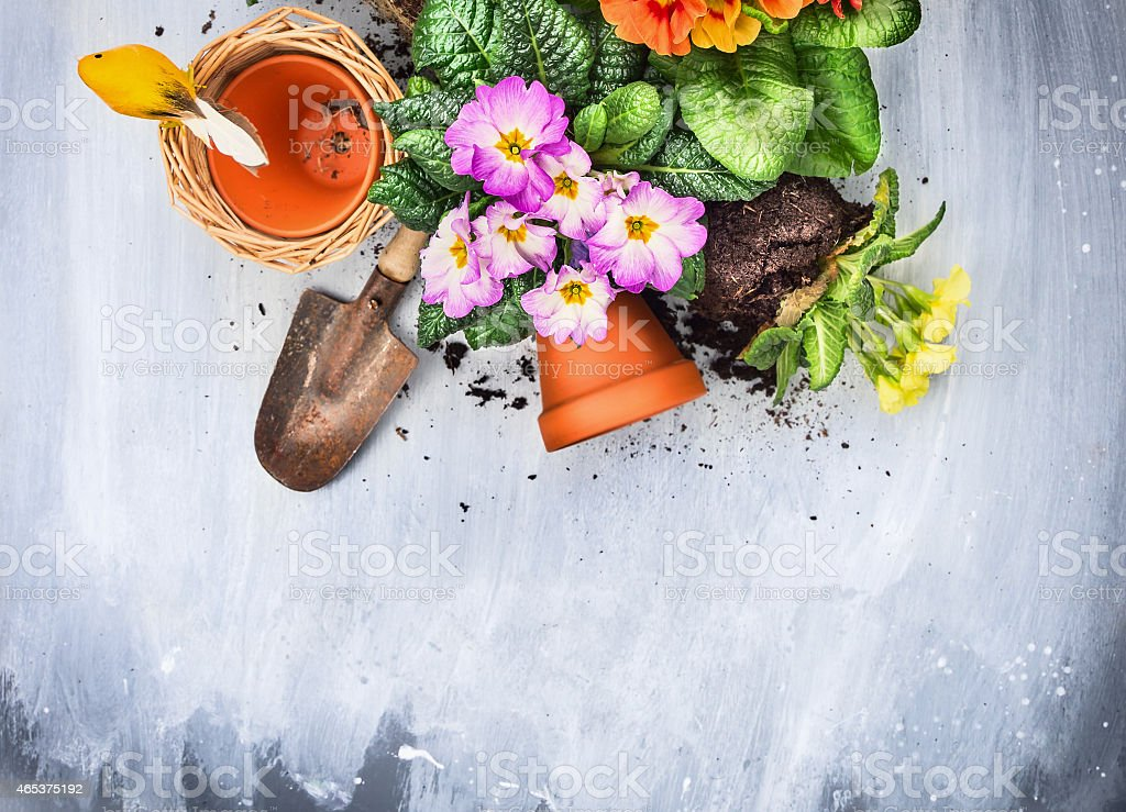 Spring flowers potting with garden tools, pots and soil stock photo