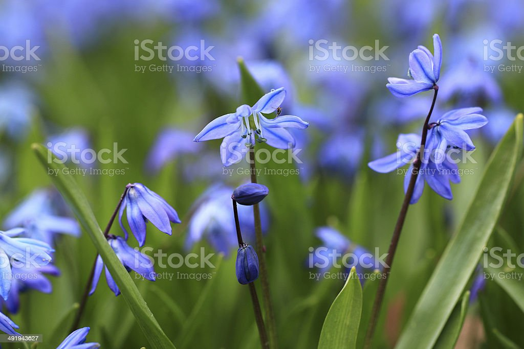 Spring flowers Scilla siberica (Siberian squill, wood squill) stock photo