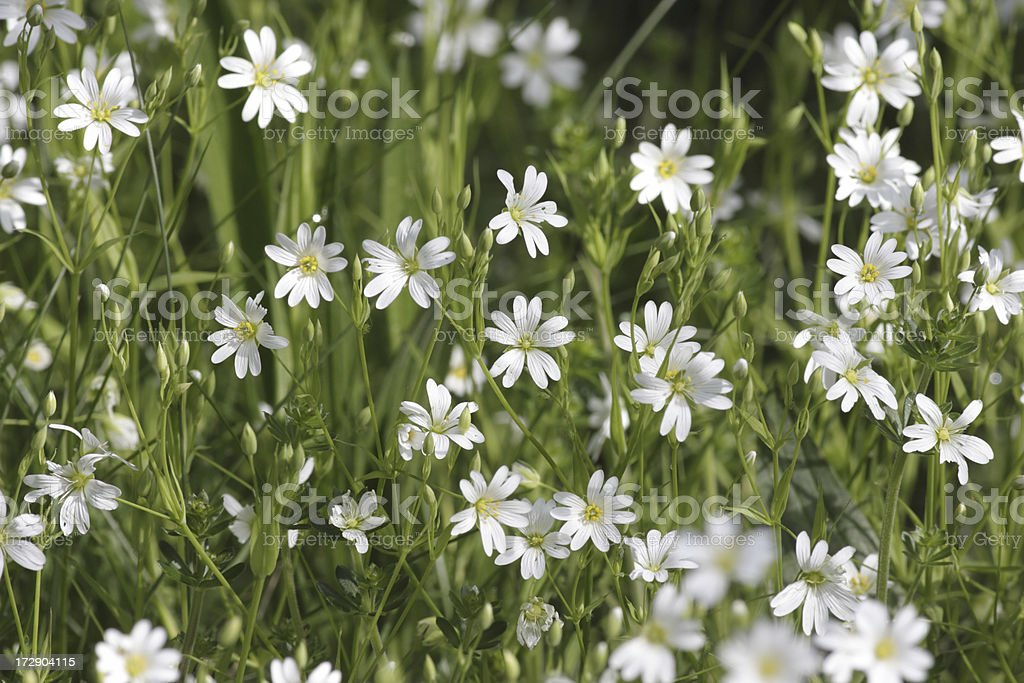 Field mouse-ear chickweed Cerastium arvense green and white stock photo