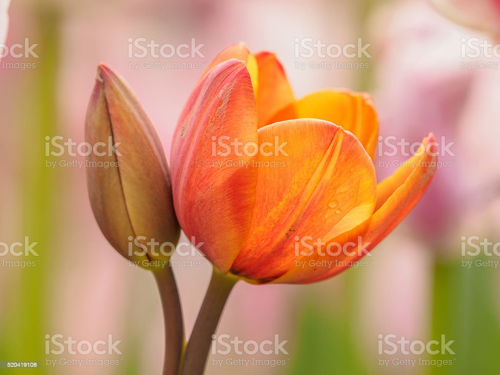Spring flowers series, colorful tulip. stock photo